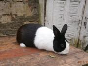 ČSCH Letovice, Holandský černý králík