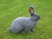 ČSCH Letovice, Moravský modrý králík