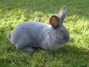 Kvapil, Moravský modrý králík