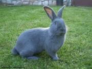 Moravský modrý králík, samec
