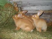 ČSCH Letovice, Kvapilová, burgundský králík