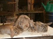 malý beran divoce zbarvený, králík, výstava
