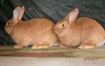 ČSCH Letovice, burgundský králík