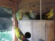 ČSCH Letovice, papoušek