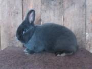 Vídeňský modrý králík, Vladimír Tesař